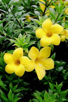 My grandfather loved these flowers. Beautiful Flowers Photos, Unusual Flowers, Beautiful Flowers Garden, Types Of Flowers, Flowers Nature, Amazing Flowers, Pretty Flowers, Yellow Flowers, Flower Images