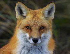 Red fox portrait #PatrickBorgenMD