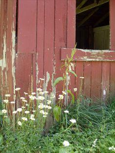 wild shasta daisies!