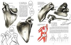Character Design Collection: Bones Anatomy - Daily Art, references