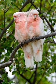 Leadbeater's or Major Mitchell's Cockatoos aka Pink Cockatoo  is a medium-sized cockatoo restricted to arid and semi-arid inland areas of Australia. With its soft-textured white and salmon-pink plumage and large, bright red and yellow crest, it is often described as the most beautiful of all cockatoos.