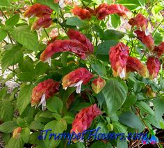 Red Shrimp Plant - Justicia brandegeeana The loveliest thug in my garden - it spreads and cuttings are everywhere - love it! Zone 9