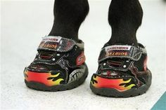 Miniature service horse wears Skechers from a local Build-A-Bear store to prevent slipping on the school floor.