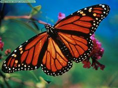 Monarch beauty