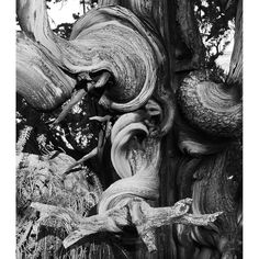 More Andrew Quist photography, this time a detail of a beautiful bristlecone pine. Some of these ancients are years old; consider me humbled. Great Photos, Cool Pictures, Interesting Photos, Beautiful Pictures, Bristlecone Pine, Black N White Images, Growing Tree, Nature Images, Mother Earth
