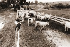 0 Jean Simmons and Stewart Granger with their cows