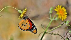 African Monarch Butterfly  (Danaus chrysippus)  (Explored)  19-01-2016