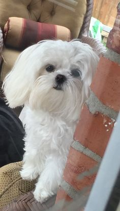Coconut ❤️ Teacup Maltese, Maltese Puppies, All Dogs, Best Dogs, Dog Training Bells, Maltipoo, Science And Nature, Dog Stuff, Madness