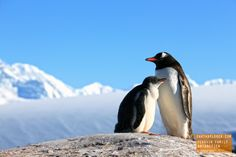 Special Moment Between Mother and Baby Penguin - Antarctica
