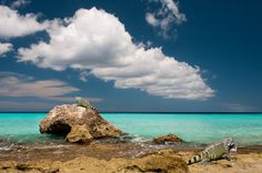 Curacao:  Island of Iguanas  - YES!!!  We love lizards and we are going here in just 2 weeks!!!!