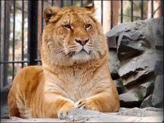 Лигр геркулес - самый большой кот в мире.