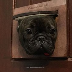 """I saw that"", nosy French Bulldog"