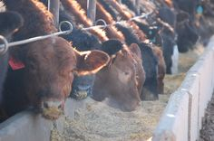 #Simmental #Agriculture #Beef   Carcass Merit cattle on feed at Tuele Feed Yard.