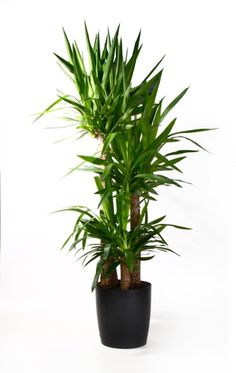 Yucca cane is a dramatic, easy-to-grow houseplant. Get tips for watering yucca cane, the best light, and more from the indoor-plant experts at Costa Farms. Deck Lounge Ideas, Colorful Plants, Cactus Plants, Window Box Flowers, Window Boxes, Types Of Plants, Plant Care, Garden Planning, Garden Inspiration
