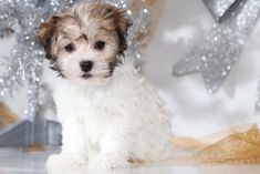 Cheerful #Havanese Havanese Puppies, Shih Tzus, Puppies For Sale, Maltese, Cooking Recipes, Pets, Board, Sweet, Candy
