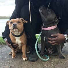 "418 Synes godt om, 9 kommentarer – Logan & Storm (@logan_storm_staffies) på Instagram: ""Storm's mum was to interested in looking at her daddy than looking at the camera 😆📸 Check out…"""