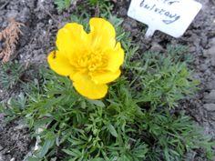 Ranunculus millefoliatus