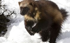 The Wolverine, Canada