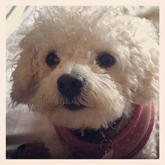 Bolognese dog - Maisy