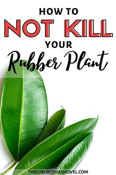 Water Plants, Cool Plants, Rubber Plant Care, House Plant Care, House Plants, Apartment Plants, Ficus Elastica, Rubber Tree, Best Indoor Plants