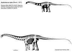 Apatosaurus ajax, credit to Scott Hartman