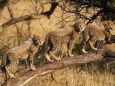 national geographic- Cheetah Cubs, South Africa