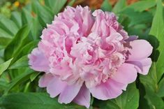 When you really want to add different colors to a garden, pot or patio, use bicolor flowers. These really pop and can look simply amazing. This is our stunning gallery showcasing 16 different types of bicolor flowers. Peony Flower, Flower Beds, All The Colors, Different Colors, Peonies Garden, Pretty Flowers, Floral Arrangements, Bloom, Backyard