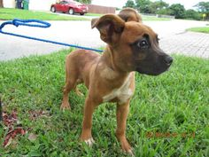 on KILL LIST - A1647823 I am a female red Boxer and Labrador Retriever. The shelter staff think I am about 4 months old. I was found as a stray and I may be available for adoption on 09/28/2014. — hier: Miami Dade County Animal Services. https://www.facebook.com/urgentdogsofmiami/photos/pb.191859757515102.-2207520000.1412280013./846080058759732/?type=3&theater