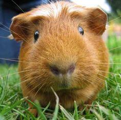 ~ Guinea Pig ~