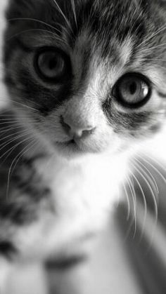 Cute Baby Cats, Baby Kittens, Cute Cats And Kittens, Cute Funny Animals, Cool Cats, Pretty Cats, Beautiful Cats, Animals Beautiful, Cutest Kittens Ever