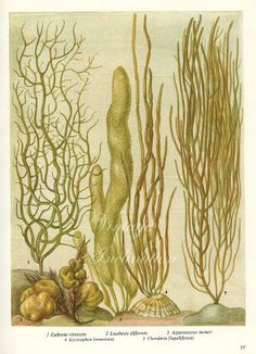 Vintage Botanical Print Antique BRITISH SEAWEED 17, plant print botanical print…