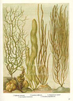 Vintage Botanical Print Antique BRITISH SEAWEED 17, plant print botanical print, bookplate art print, sea plants plant wall print wall art
