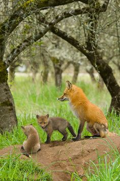 Red Fox Family by Michael Dossett. What does the fox say? Nature Animals, Animals And Pets, Baby Animals, Cute Animals, Wild Animals, Beautiful Creatures, Animals Beautiful, Beautiful Beautiful, Beautiful Family