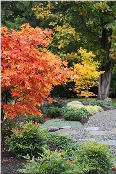 Nandina domestica 'Gulf Stream' in foreground. The Japanese maple in front is a really nice cultivar though hard to find - Acer palmatum 'Iijima Sunago.' The maple in back is Acer palmatum 'Hogyoku.' These are both in fall color.