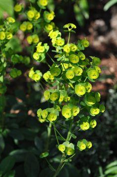 Acid yellow of Euphorbia amygdaloides in a woodland spring garden