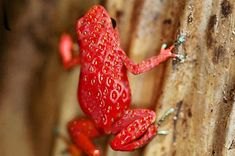 The Strawberry Poison Dart Frog might not look exactly like a strawberry like in this picture, but I still love this picture.