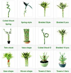 Lucky Bamboo | Ewaterplant : Resource of aquatic plant and Ornamental plants