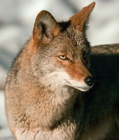 Of all animals I am most like the coyote.