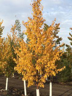 Deciduous Trees - SUNSTAR NURSERIES LTD.linden dropmore tree