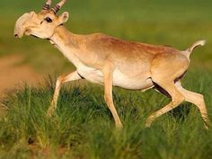 2. Saiga antelope omg look at these derps