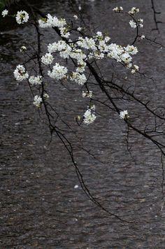 Kyoto, Japan 高瀬川 (Photo : Gallery I) https://www.facebook.com/Kyoto.GalleryI?ref=br_rs