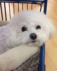 Bichon Dog, Havanese Puppies, Maltese Dogs, Cute Puppies, Cute Dogs, Dogs And Puppies, Maltipoo, Doggies, Teacup Chihuahua