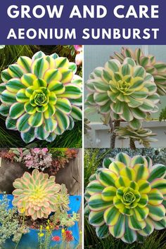 Learn how to grow and care for the aeonium sunburst. Types Of Succulents, Succulent Care, Rosettes, Evergreen, Different Colors, Shapes, Plants, Design, Succulents
