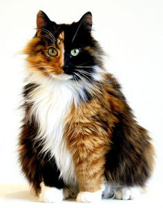 fluffy calico kitty