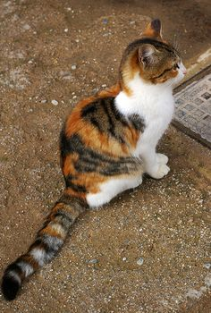 Cats With Thumbs Product Cute Baby Cats, Cute Cats And Kittens, Cute Baby Animals, Warrior Cats, Pretty Cats, Beautiful Cats, Bobtail Japonais, Gato Calico, Calico Cats