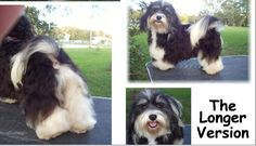 The Long Version of the Havanese Trim by MyLad Havanese