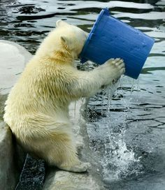 This polar bear appears to have a bit of a thirst on - as he appear to guzzle down gallons of water from an enormous bucket. The bear was playing with the bucket in the water at his enclosure in Moscow zoo