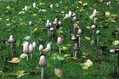 Mustesieniä - mustesieni mustesienet rypäs sieni sienet syksy hattu muste valkoinen