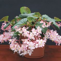 'Tea Rose' Begonia...Begonias are old-fashioned favorites. While most aren't scented, use your nose while shopping to discover varieties such as 'Tea Rose' that are. This beauty offers clusters of fragrant pink flowers over lustrous green leaves.