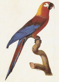 Watercolour by Jacques Barraband, circa 1800, Cuban Red Macaw